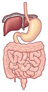 ビタミンUは胃腸だけではなく、肝臓にもイイ