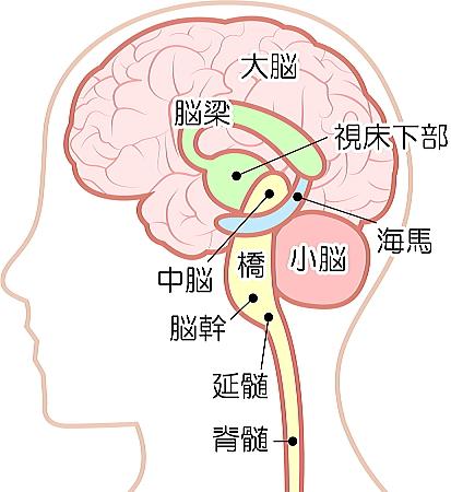脳の構造 海馬の位置